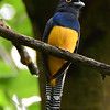 Guianan Trogon (Violaceous Trogon)