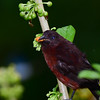 Silver-beaked Tanager - Male