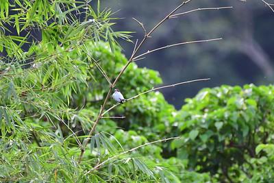 Black-tailed Tityra