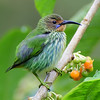 Purple Honeycreeper - Female