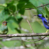 Purple Honeycreeper - Male & Female
