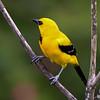 Yellow Oriole