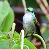 White-chested Emerald
