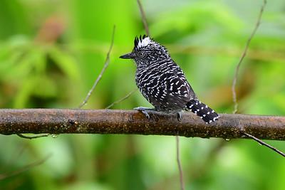 Barred Antshrike - male