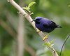 purple honeycreeper male