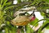 Golden-olive Woodpecker, Asa Wright Nature Center, Trinidad Island, Trinidad and Tobago