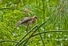 Purple Gallinule chick, Pointe-a-Pierre Wildlife Preserve, Trinidad Island, Trinidad and Tobago