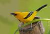Yellow Oriole, Pointe-a-Pierre Wildlife Preserve, Trinidad Island, Trinidad and Tobago