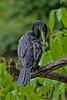 Neotropic Cormorant, Pointe-a-Pierre Wildlife Preserve, Trinidad Island, Trinidad and Tobago