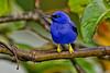 Purple Honeycreeper, Asa Wright Nature Center, Trinidad Island, Trinidad and Tobago