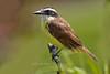 Great Kiskadee, Pointe-a-Pierre Wildlife Preserve, Trinidad Island, Trinidad and Tobago