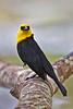 Yellow-hooded Blackbird, Pointe-a-Pierre Wildlife Preserve, Trinidad Island, Trinidad and Tobago