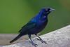 Shiny Cowbird, Pointe-a-Pierre Wildlife Preserve, Trinidad Island, Trinidad and Tobago