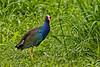 Purple Gallinule, Pointe-a-Pierre Wildlife Preserve, Trinidad Island, Trinidad and Tobago