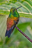 Copper-rumped Hummingbird, Asa Wright Nature Center, Trinidad Island, Trinidad and Tobago