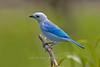 Blue-gray Tanager, Pointe-a-Pierre Wildlife Preserve, Trinidad Island, Trinidad and Tobago