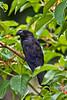 Smooth-billed Ani, Pointe-a-Pierre Wildlife Preserve, Trinidad Island, Trinidad and Tobago