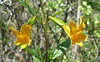 monkey flowers_two_P1090580