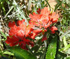 indian paintbrush_toyon_bug_P1090382