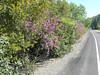 western redbuds along Hwy 16_P1090583