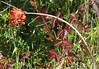 Poison oak and indian paintbrush_P1090401
