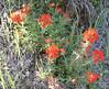 indian paintbrush_P1090559