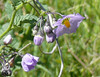 solanum_right one_P1090386