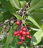 toyon berries_P1090572