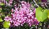 western redbud flowers_vine_P1090585