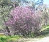 western bedbud tree_P1090635