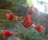 These scarlet delphinium flowers were in a narrow canyon.  This flower seems to like lots of shade and limited sun.
