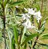 Yerba santa flowers_P1090418