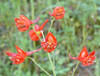 Scarlet delphinium flowers in Mix canyon.