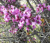western redbud with bee_P1090639
