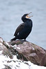 Great Cormorant making a statement