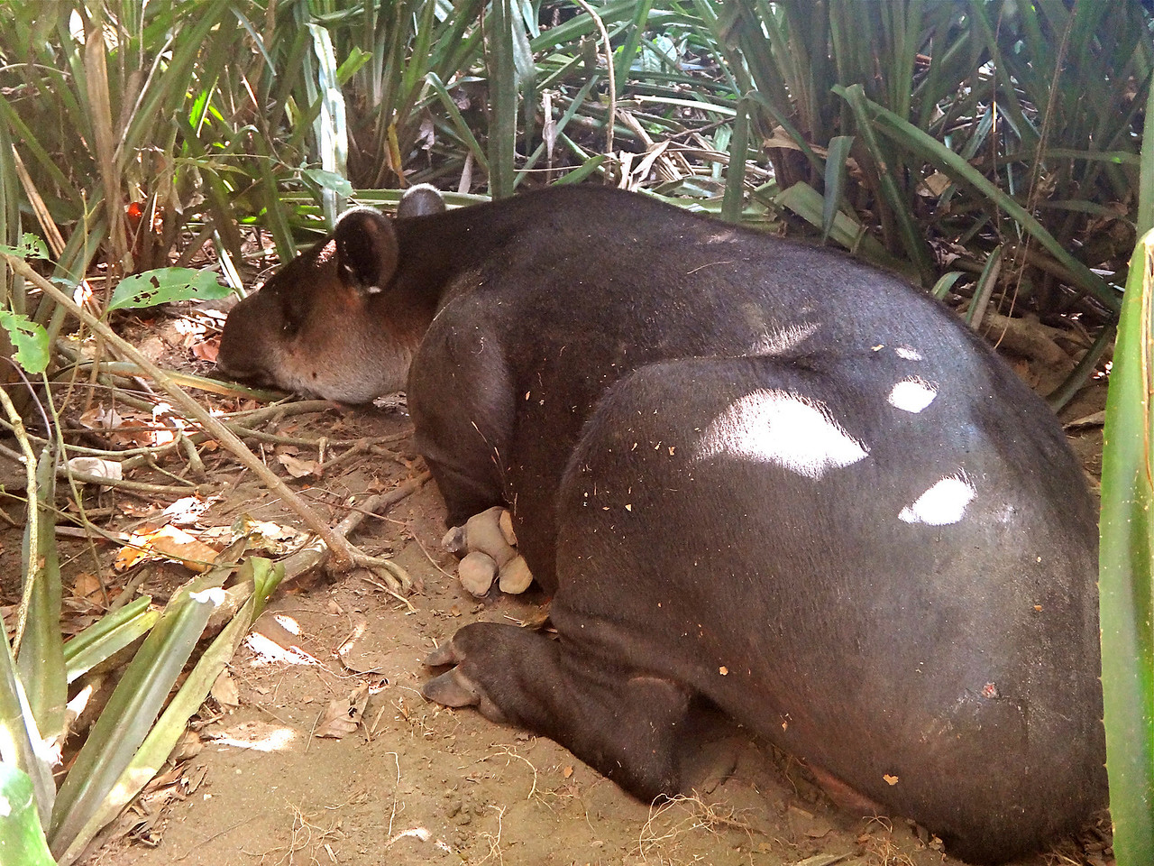 Sleeping adult male tapir, shifted up onto his haunches.  Corcovado National Park.  Photo courtesy of Steve Edmonds.