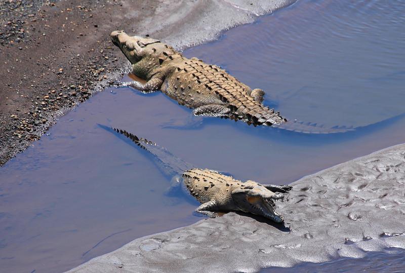 Crocodiles in the Rio Tarcoles