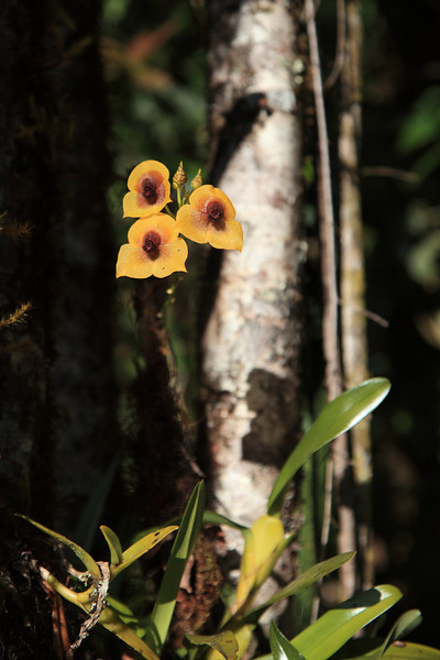 Orchid (Telipogon sp.) growing in the understory of an oak forest at about 2,500 m near Cerro de la Muerte, Costa Rica.