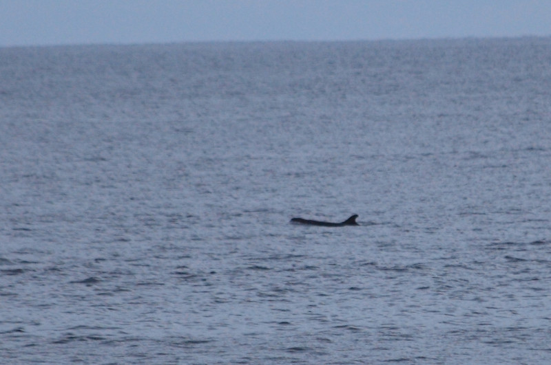 A Pilot whale or False Killer Whale swimming past Campanario