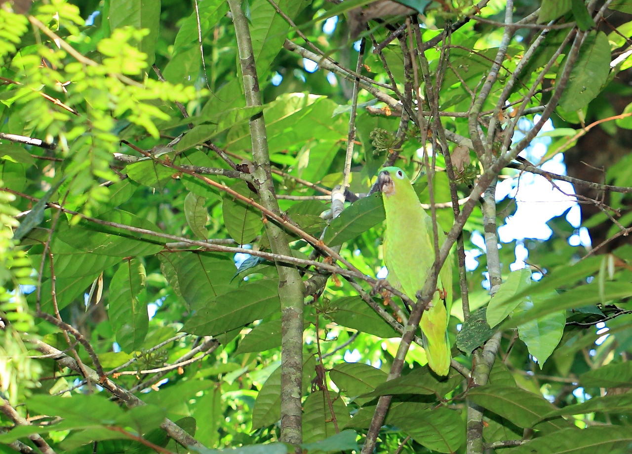 Mealy Parrot (Amazona farinosa) blending in with the vegetation, Campanario