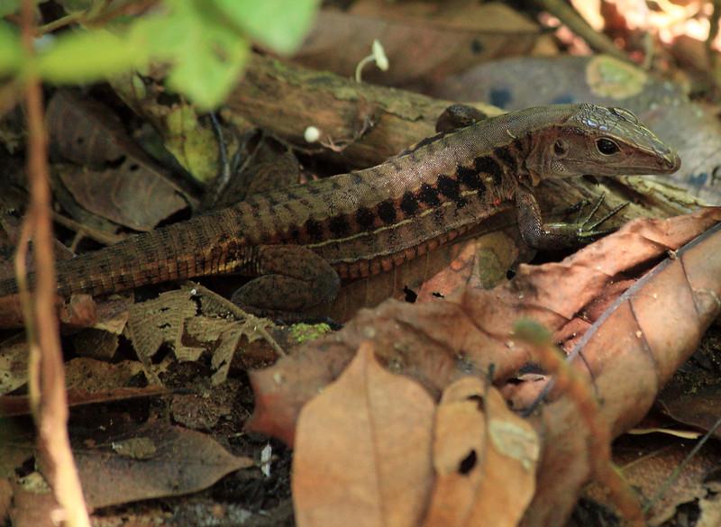Ameiva festiva, Central American Whiptail lizard