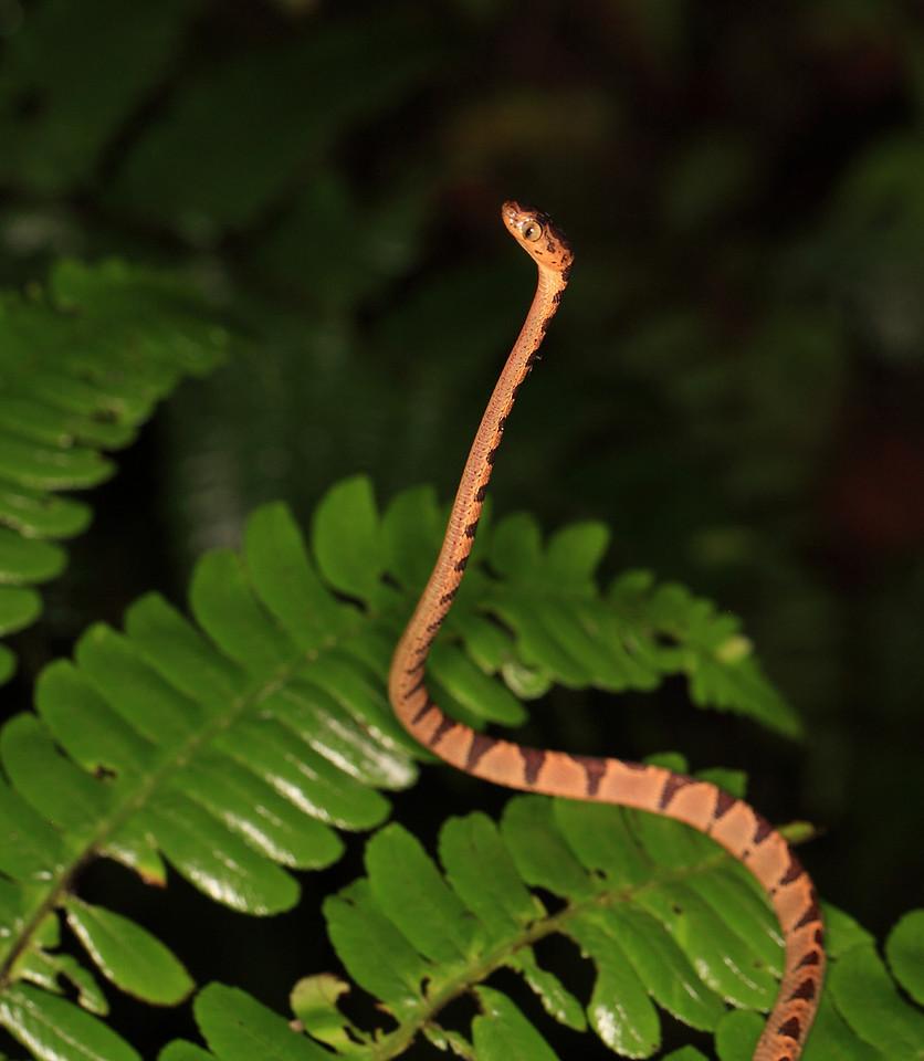 Blunthead Tree Snake (Imantodes cenchoa)