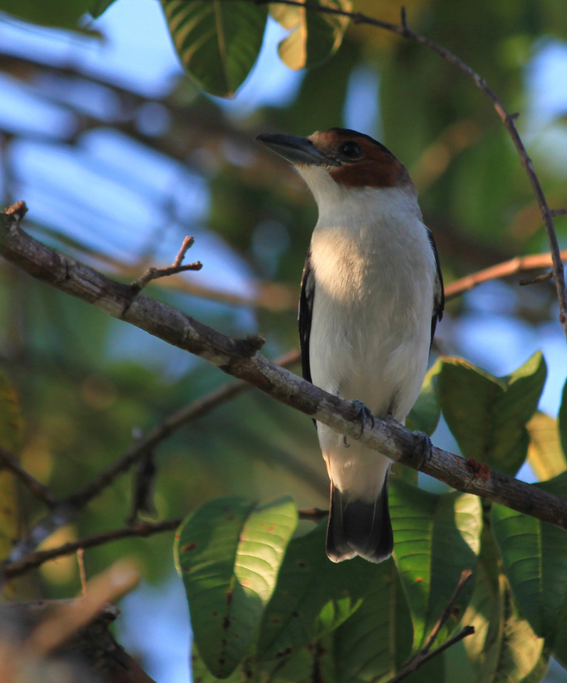 Female Black-crowned Tityra (Tityra inquisitor), Uvita
