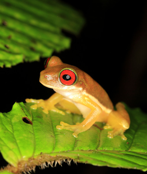 Small red eyed tree frog (Duellmanohyla rufioculis) along a stream at Alberto Manuel Brenes Biological Reserve, Costa Rica