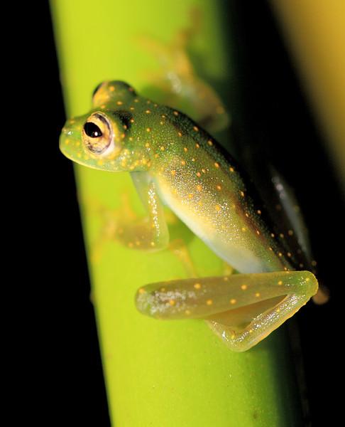 Glass frog (Cochranella albomaculata) beside a stream at Campanario, Osa Peninsula, Costa Rica