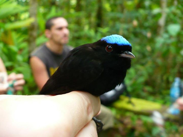 Blue-crowned Manakin (Lepidothrix coronata), male. Captured in a mist net and promptly released.  Photo by Laura Russo.