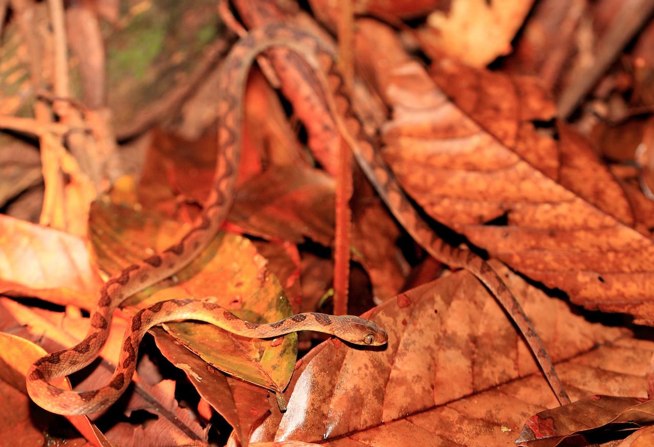Cat-eyed snake, Leptodeira septentrionalis