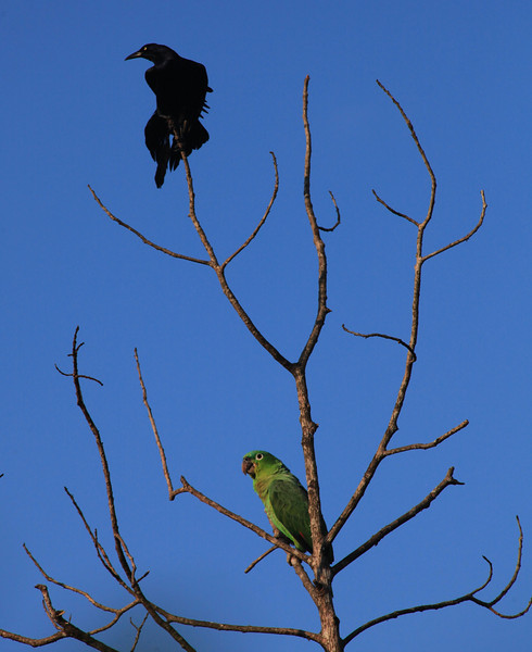 Morning in Uvita.  A Great-tailed Grackle (Quiscalus mexicanus) tries to get in on my photo action with a Mealy Parrot.