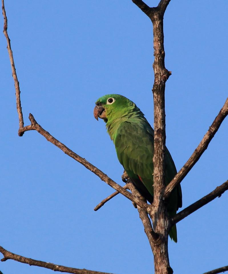 Mealy Parrot (Amazona farinosa) in Uvita