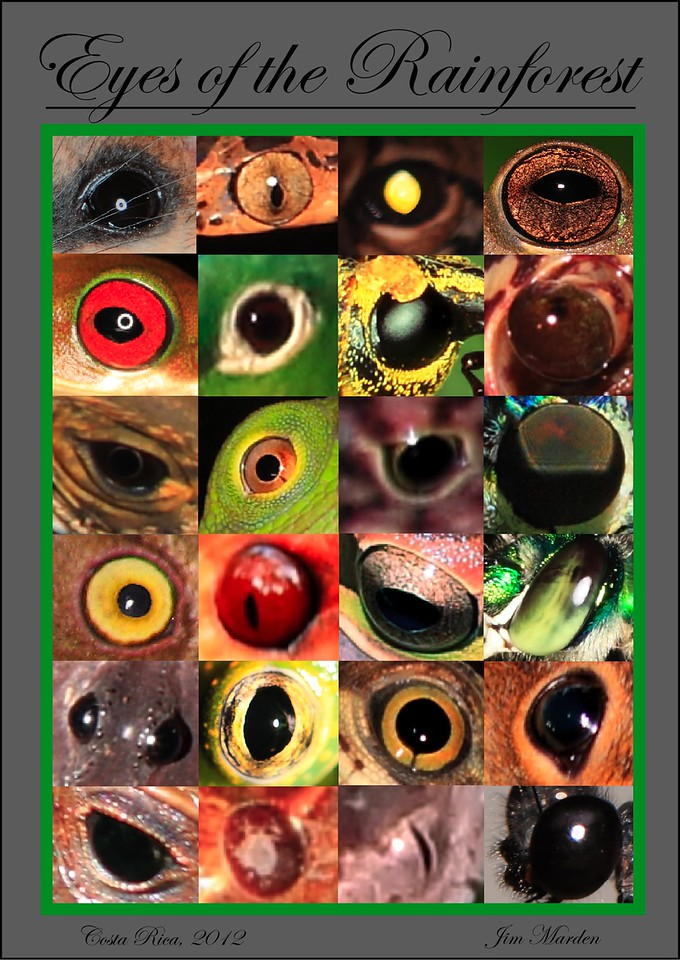Eyes of the Rainforest poster showing a compilation of eyes from animals we encountered.  This includes mammals, snakes, frogs, lizards, birds, insects, a crab, and a scorpion.